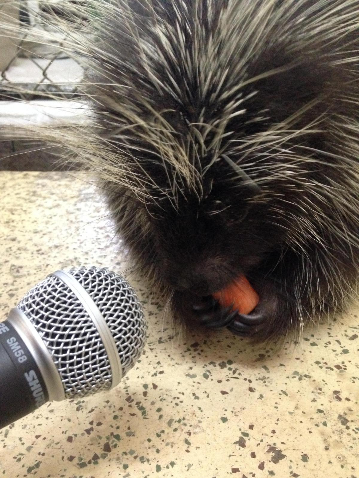 Irwin the North American porcupine wasn't in the mood to talk to producer Andy Kubis when she visited the wildlife rescue center. But he was otherwise friendly. Photo: Andy Kubis