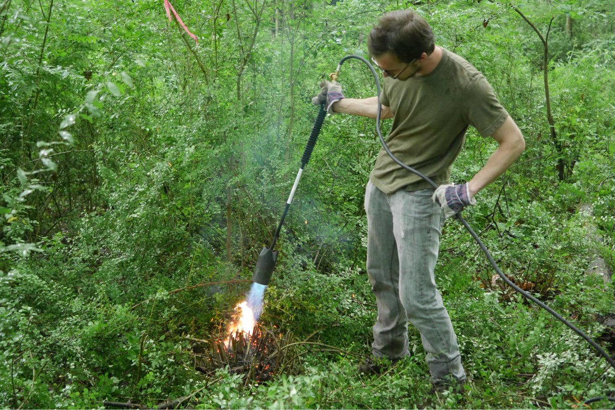 Art Link torching barberry