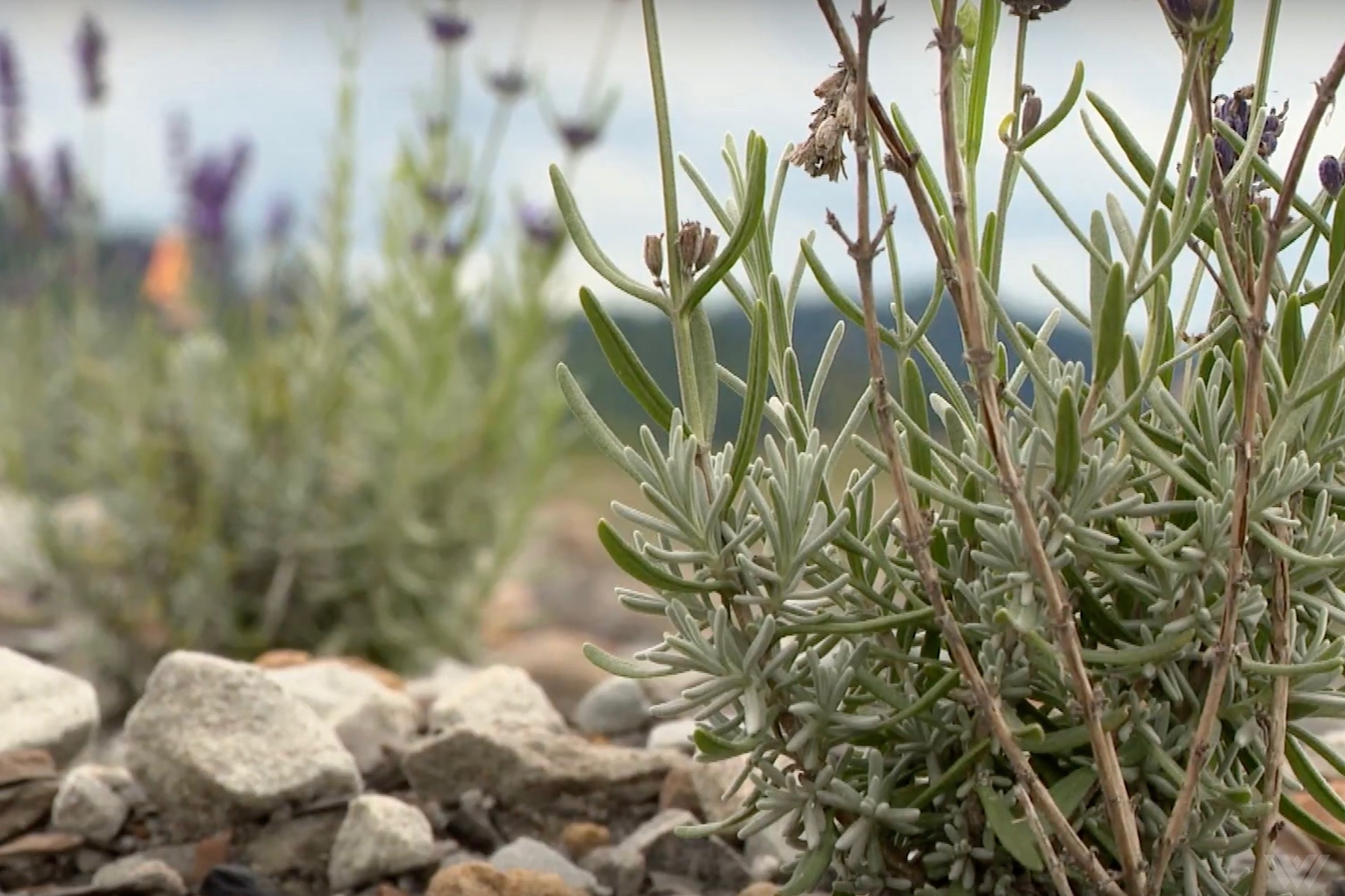 Lavender Farming Project Doesn't Go as Planned - The