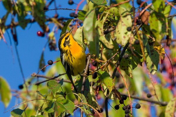 Blackburnian Warbler. Photo: Dave Brooke