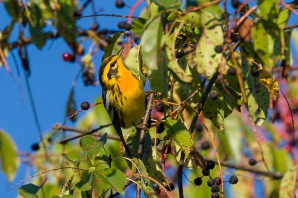 Blackburnian Warbler. Photo: Dave Brooke
