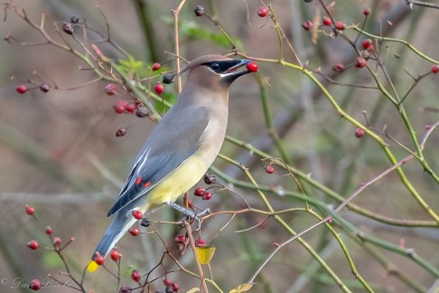 Cedar Waxwing. Photo: Dave Brooke