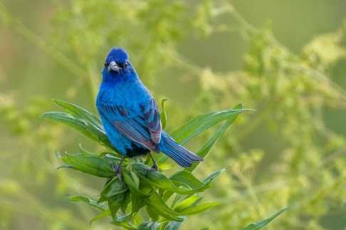 Indigo Bunting. Photo: Dave Brooke