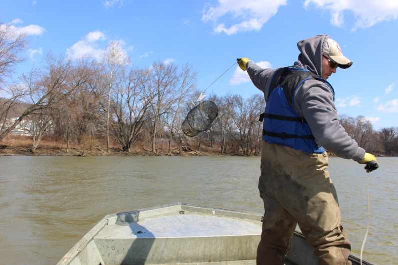 Nevin Welte pulling up traps. Photo: Julie Grant