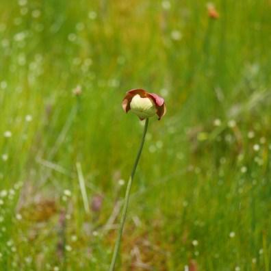 The flower of the carnivorous pitcher plant. Photo: Kara Holsopple