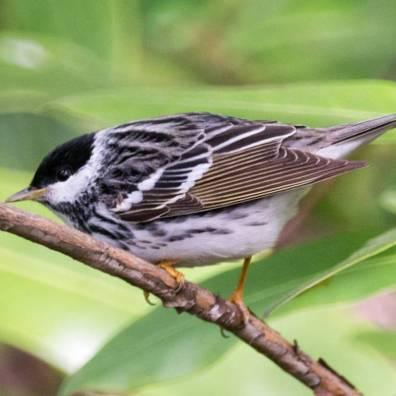 Blackpoll warbler. Photo: Will Pollard, Flickr