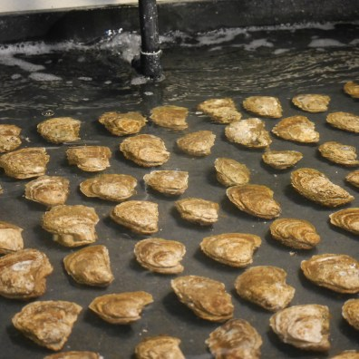 Oysters from the bay waiting to spawn. Photo: Kara Holsopple/The Allegheny Front