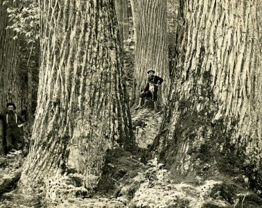 Historical photo of American chestnuts