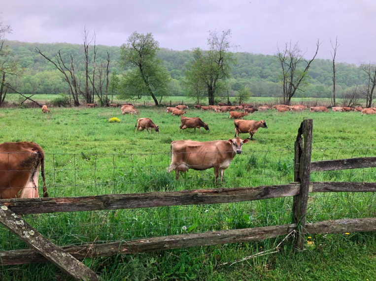 Cows at the Peters Farm