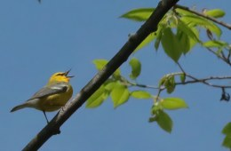 blue-winged warbler singing