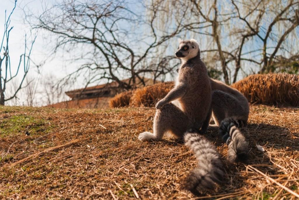 zoom torino lemuri in posa di yoga