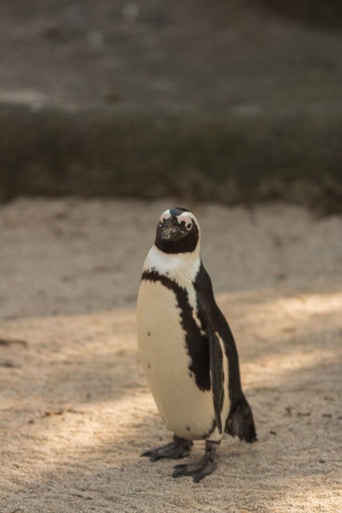 zoom torino pinguino