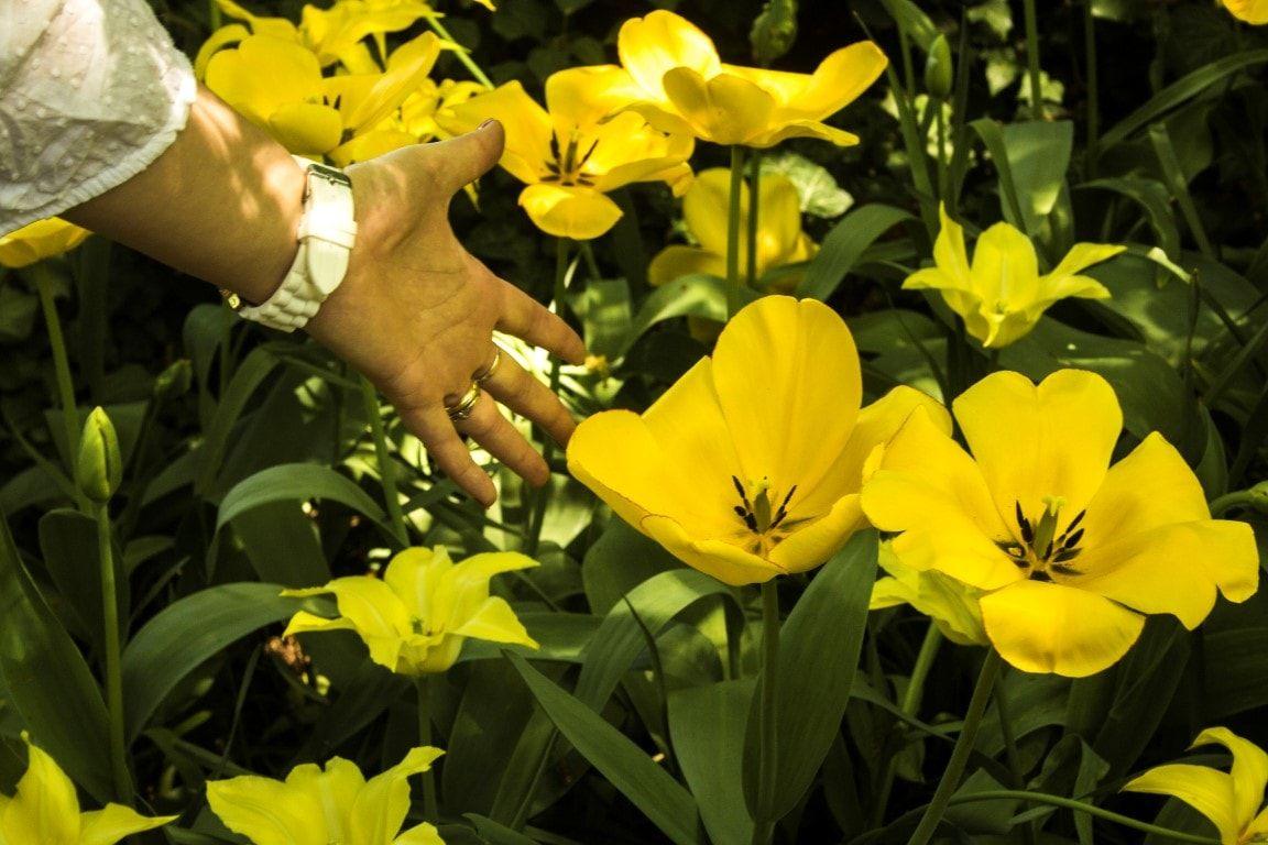 Dimensioni tulipano