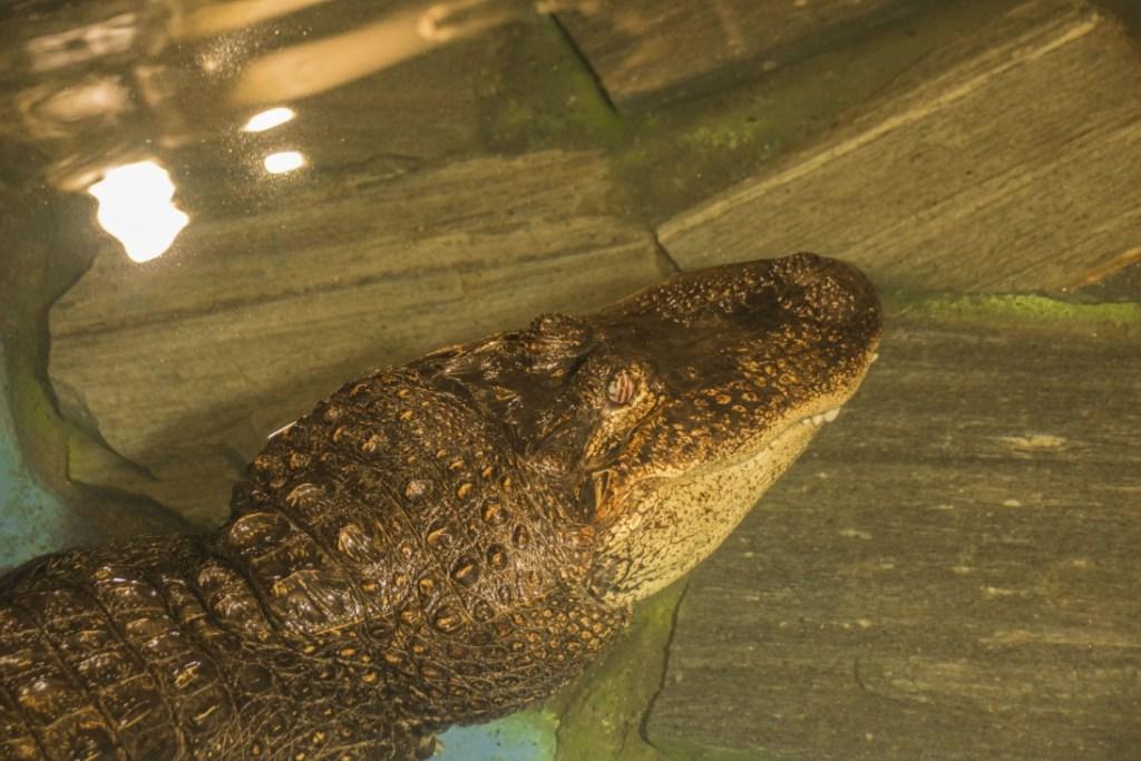 Il coccodrillo si fa una pennica