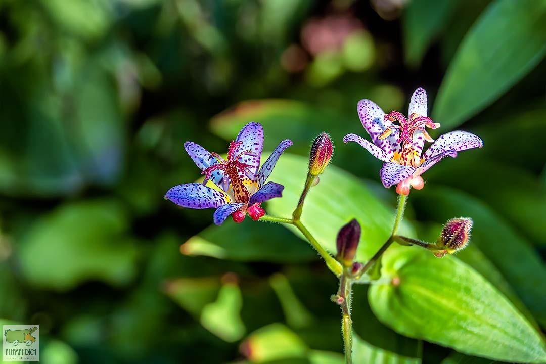 Fiore al Trauttmandorf