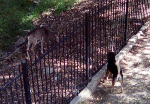 Dog and deer, Trevose and buck