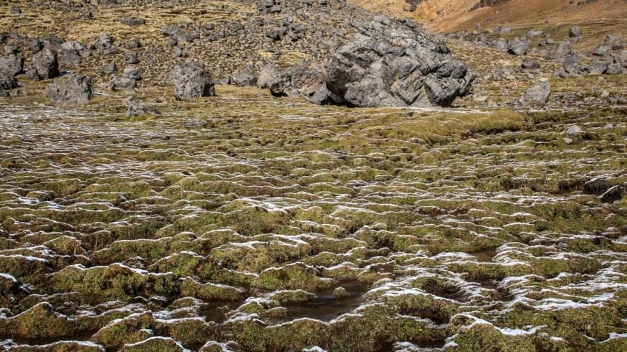 Vegetation am Iztaccihuatl an der Schneegrenze