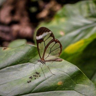 Mariposa Cristal in Xilitla