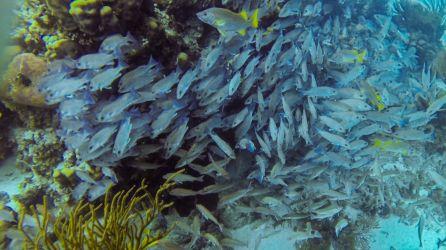 Fischschwarm, Caye Caulker
