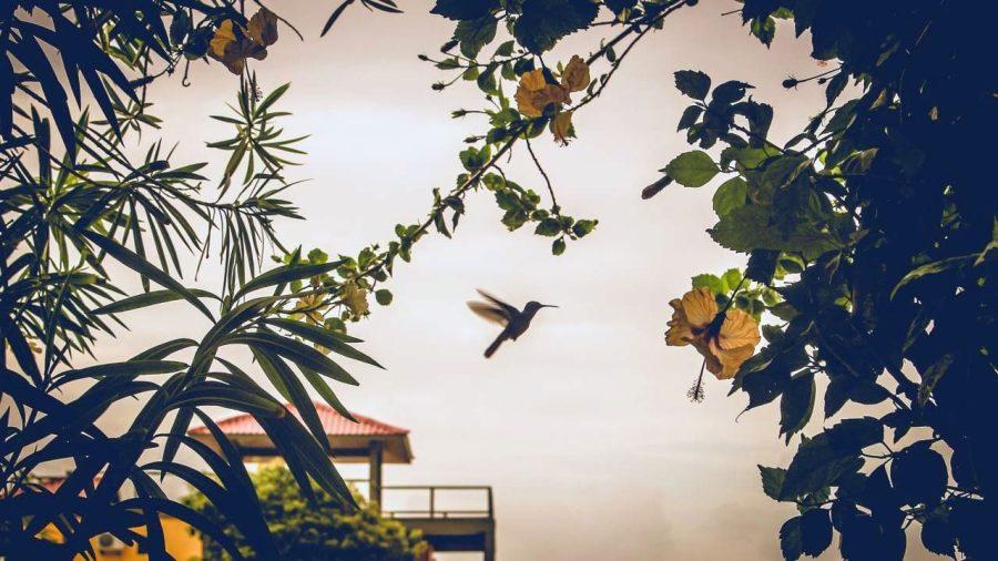 Kolibri in Placencia, Belize