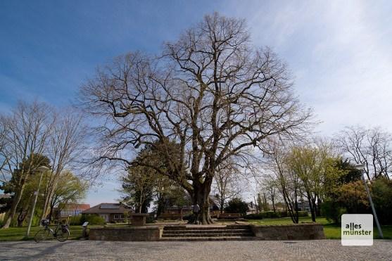 Die Krüsellinde, das Wahrzeichen Altenberges, das sogar im Stadtwappen verewigt wurde (Foto: Michael Bührke)