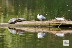 Selbst Wasser-Schildkröten leben in den Rieselfeldern, sie wurden vermutlich ausgesetzt. Dies ist übrigens in den Rieselfeldern verboten! (Foto: Michael Bührke)