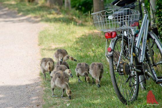 Wer mit dem Rad am Wasser unterwegs ist, muss sich auf überraschende Begegnungen einstellen. (Foto: Michael Bührke)