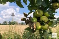 Zur richtigen Jahreszeit kann während der Fahrt sogar Obst geerntet werden