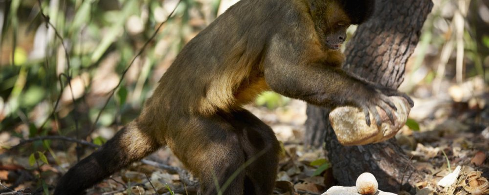 Capuchin monkey uses stone