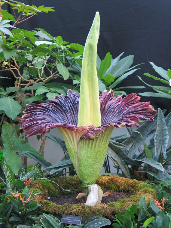 Amorphophallus titanum - TOP 10 SPECIAL AND STRANGE PLANTS