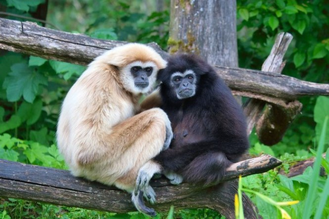 Gibbon - TOP 10 Animals With Bizarre Big Eyes
