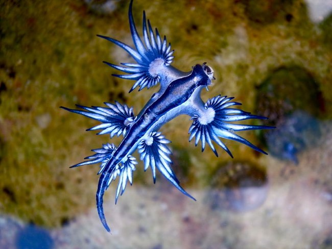 Glaucus Atlanticus - TOP 10 STRANGE MYTHICAL ANIMALS THAT STILL EXIST!