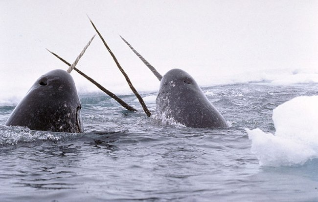 Narwhal1 - TOP 10 STRANGE MYTHICAL ANIMALS THAT STILL EXIST!