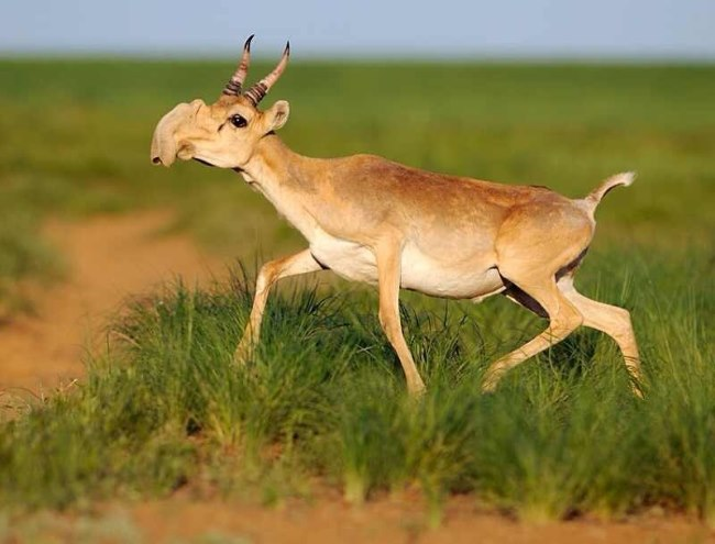Saiga - TOP 10 STRANGE MYTHICAL ANIMALS THAT STILL EXIST!