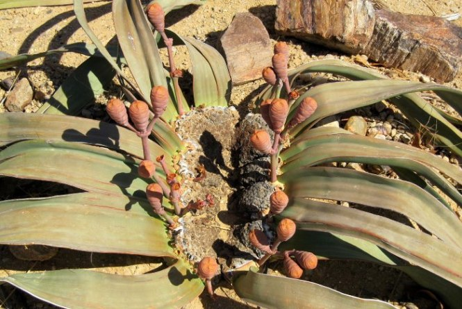 Welwitschia - TOP 10 SPECIAL AND STRANGE PLANTS