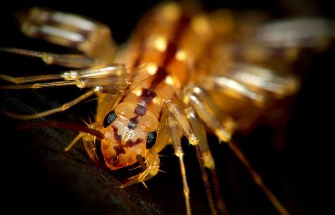 spinduizendpoot - TOP 10 SCARY AND FREAKY INSECTS