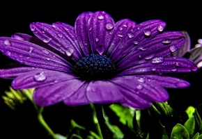 цветок, лепестки, капли, крупный план, фиолетовый, черный фон
