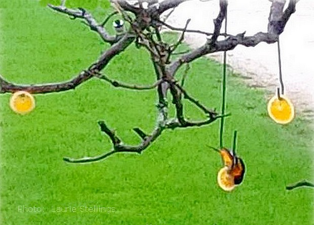 oriole eating orange slices
