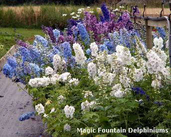 magic fountain delphiniums