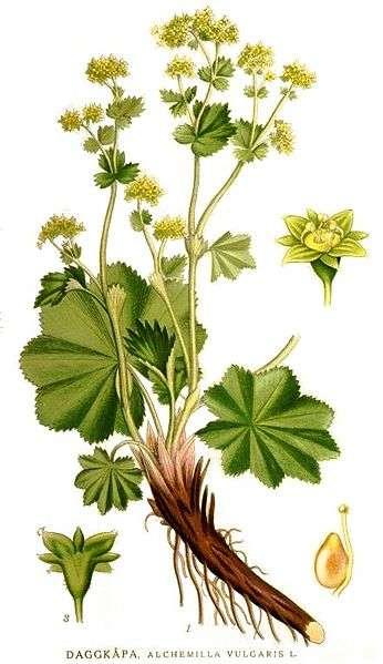 alchemilla vulgaris botanical print
