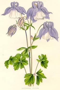 aquilegia alpine botanical print