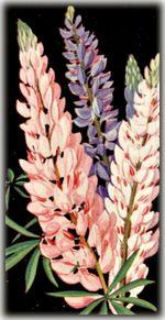 vintage lupine botanical print