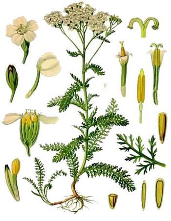 Achillea millefolium botanical print