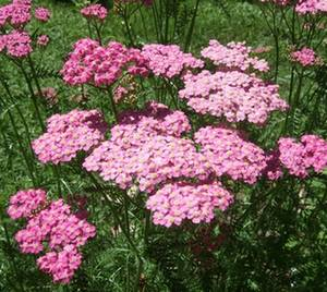A. millefolium - cerise queen