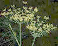 dill flower and seed head