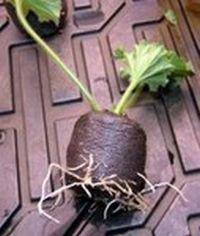rooted geranium slip