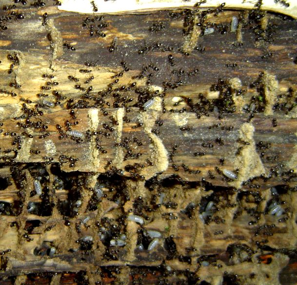 ant habitat in a fallen tree