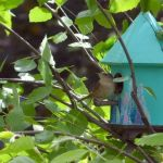 wren perched on a decoupage bird box