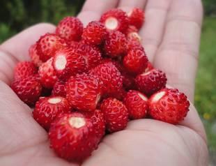 handful of wild strawberries