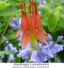 aquilegia_canadensis